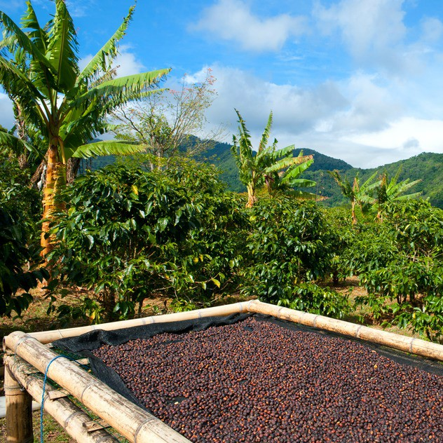 indonesian sumatra mandheling green coffee beans flavours pl